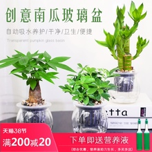 发财树io萝办公室内se面(小)盆栽栀子花九里香好养水培植物花卉