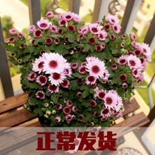 荷兰菊is盆栽鲜花盆re绿植室外盆栽(小)雏菊多头菊带花苞