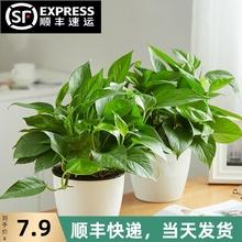 绿萝长j6吊兰办公室66(小)盆栽大叶绿植花卉水养水培土培植物