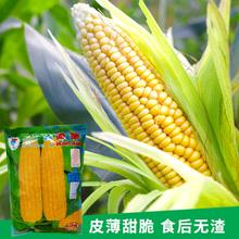超甜2016白水果玉米种je9台湾农友ha库瑞思多美滋金冠春秋播