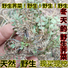 莒南野ji老荠菜过冬he现挖农村特产土特产整棵带根带花老荠