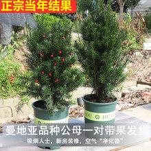 正宗南ju红豆杉树苗lb地亚办公室内盆景盆栽发财树大型绿植物