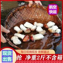 赤松茸新鲜2斤云ju5姬松茸新in邮蘑菇自家种植巴西菇松树干