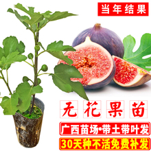 树苗当ju结果可盆栽nd方种北方种水果树苗广西发货