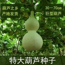 天然特ka种子巨型超us捻(小)种籽庭院景区观赏藤蔓