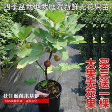 无花果ka果苗特大带pa四季盆栽地栽庭院新鲜当年结果
