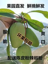 高州酸脆芒果5斤生吃孕期