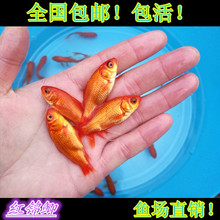 红鲫鱼(小)ka1鱼红草金an水鱼锦鲤观赏冷水鱼活体饲料鱼放生鱼