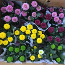 乒乓菊ka栽重瓣球形er台开花植物花卉花期长耐寒植物