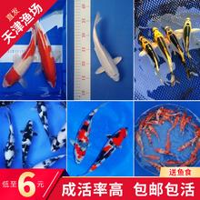 锦鲤活鱼km1种观赏鱼gg红白三色冷水淡水(小)鱼苗龙凤金鱼招财