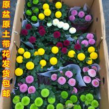 盆栽花km室内外阳台ai年生植物菊花乒乓球耐寒带花发货