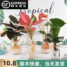 竹芋水ko植物玻璃瓶m7内花卉花瓶琴叶榕办公室绿植水养(小)盆栽