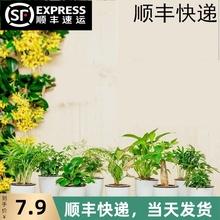 绿萝发la树碧玉袖珍an竹九里香花卉办公室内水培绿植物(小)盆栽