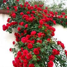 四季蔷薇花苗攀援lb5藤植物庭ob玫瑰藤本月季花卉特大花盆栽