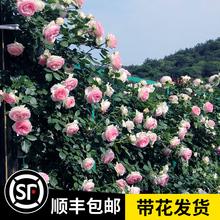 【1米5大苗】蔷薇花lb7藤本月季ob藤植物四季开花卉盆栽玫瑰