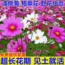 波斯菊种子花种籽ld5桑花四季hf花籽庭院外花卉野花组合种孑