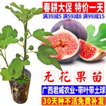 [ldmd]无花果苗树苗当年结果可盆