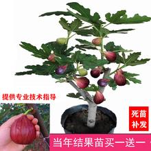 无花果le苗南北方四ue盆栽当年结果地栽青皮无花果树