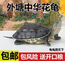 大(小)中华花龟活体li5宠物龟珍al草花龟10厘米左右一只包邮