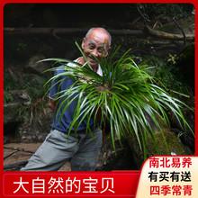 新鲜石菖蒲水培植物附石li8植菖蒲草ur植物苗盆景假山造景