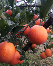 10斤lu川自贡当季in果塔罗科手剥橙子新鲜水果
