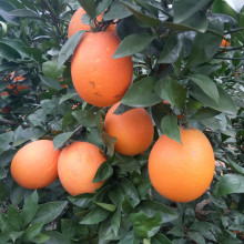 新鲜摘lu湖北秭归纽ou晚夏橙榨汁孕妇水果橙子甜橙春橙10