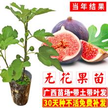 树苗当lw结果可盆栽qc方种北方种水果树苗广西发货