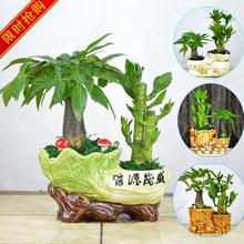 发财树ma贵竹节节高jo栽室内办公室客厅防辐射植物花卉盆景