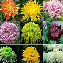 四季菊ma苗盆栽室内ia植物阳台花卉绿植物波斯菊翠菊
