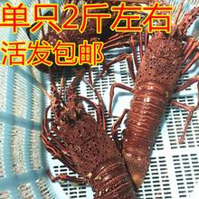 限量新ma野生海捕刺ry活虾福建省500g鲜活水产中国大陆