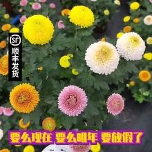 [mayunzhu]乒乓菊盆栽带花鲜花笑脸七彩缤纷千