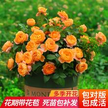 月季花苗特大花果me5阳台玫瑰tf蔷薇绿植花卉植物室内花盆栽