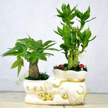 发财树mi栽大植物室sq室桌面客厅(小)盆景招财树苗绿植花卉盆栽