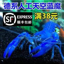 满38顺丰包邮德系纯的工天mi10蓝魔虾le龙虾宠物观赏虾活体