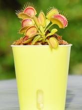 植捕捕蚊驱绿的食虫草蝇(小)ml9卉桌面苗sj种子花盆栽植物草食
