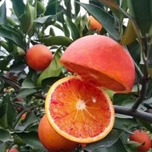 塔罗科mo川自贡薄皮la剥橙子10斤新鲜果脐橙