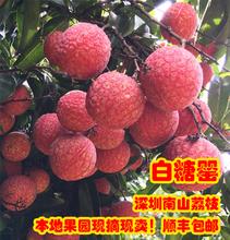 预卖深ms南山5斤白tg摘新鲜水果妃子笑包邮 桂味糯米糍