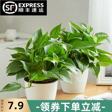 绿萝长mu吊兰办公室an(小)盆栽大叶绿植花卉水养水培土培植物