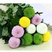 乒乓菊――圆圆满满 雪花