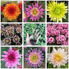 阳台盆n6带花苞 草15的菊苗易爆盆 多年生宿根植物包邮