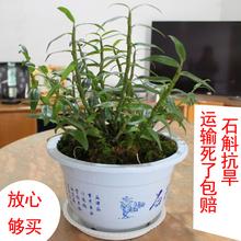 3年霍山石斛ne3皮石斛苗an可观赏可食用 绿植物花卉 室内盆栽