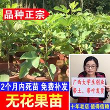 树苗水ne苗木可盆栽to北方种植当年结果可选带果发货
