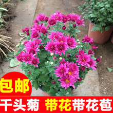 千头菊ny季菊 多头3d菊美的菊荷兰菊大菊花盆栽带花苞