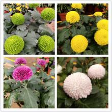 秋菊室ny外菊花盆栽xz花阳台庭院绿植花卉带花苞发货