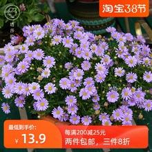 塔莎的on园 姬(小)菊in花苞多年生四季花卉阳台植物花草