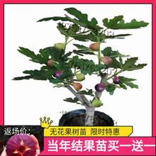 无花果ou苗南北方四fe盆栽当年结果地栽青皮无花果树