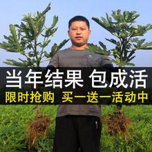 四季矮pa盆栽带土带ha结果南方种植特大无花果树果苗