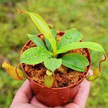 捕蝇草食的花猪笼草食虫植物食蝇pe12食虫草we新上牛货盆栽