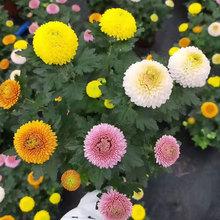乒乓菊pi栽带花鲜花ei彩缤纷千头菊荷兰菊翠菊球菊真花