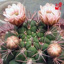 实生新pj地仙的球组nd植物办公室内外防辐射吸甲醛绿植(小)盆栽
